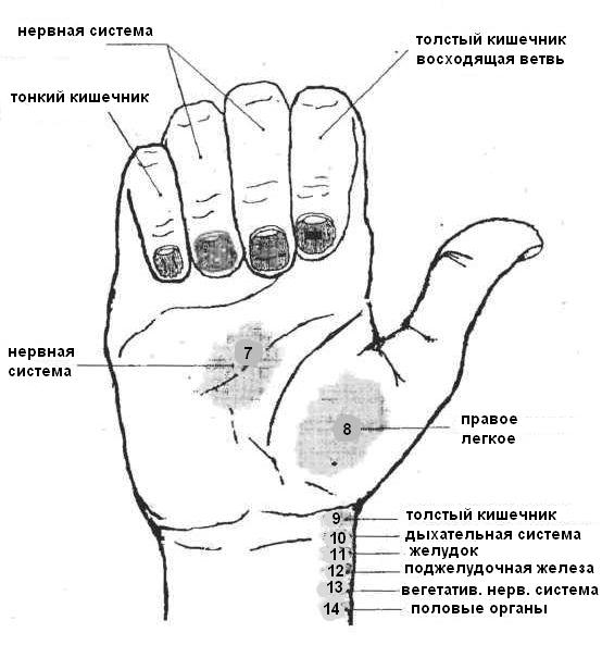 Железы Желудочные фото